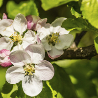 Buy canvas prints of Apple Blossom by Paul Madden