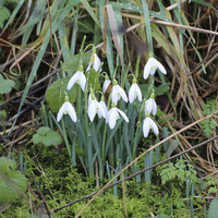 Buy canvas prints of snow drops by Martyn Bennett