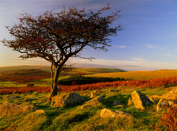 Hawthorn Tree,Two Moors Way Canvas print by Darren  Galpin