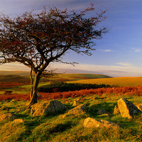 Buy canvas prints of Hawthorn Tree,Two Moors Way by Darren  Galpin