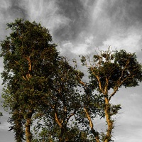 Buy canvas prints of Scots Pine Trees by Darren  Galpin