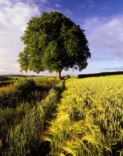 Oak and Barley Canvas print by Darren  Galpin