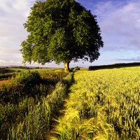 Buy canvas prints of Oak and Barley by Darren  Galpin