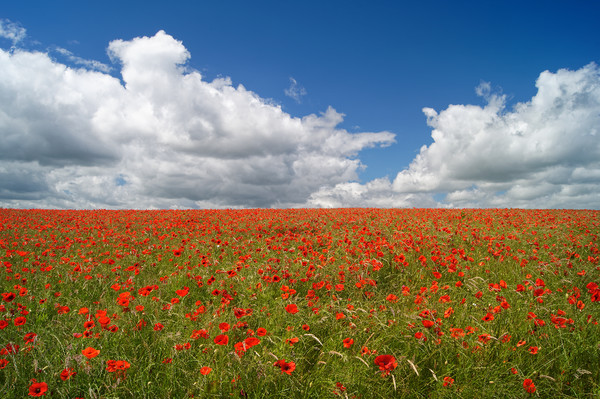 Poppies and Clouds                       Canvas print by Darren Galpin