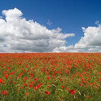 Buy canvas prints of Poppies and Clouds                       by Darren Galpin