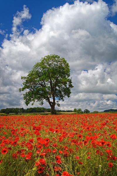 Baslow Poppies                    Canvas print by Darren Galpin