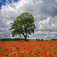 Buy canvas prints of Baslow Poppies                    by Darren Galpin