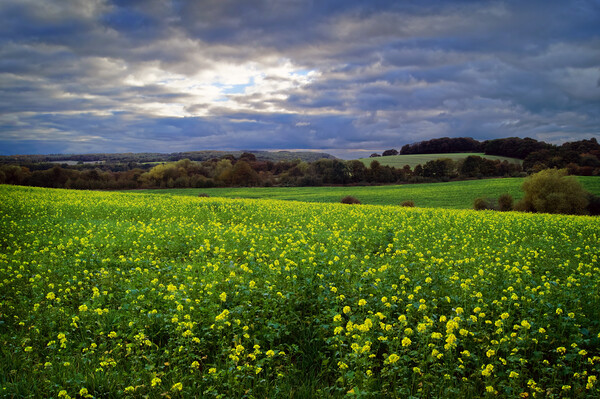 Rapeseed Field near Barnsley Canvas Print by Darren Galpin