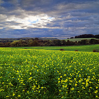 Buy canvas prints of Rapeseed Field near Barnsley by Darren Galpin