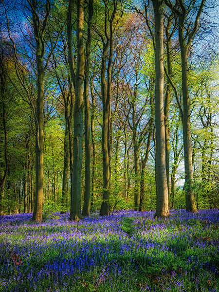 Bluebell Time Again Canvas Print by Darren Ball
