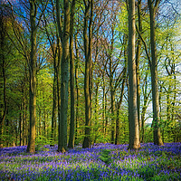 Buy canvas prints of Bluebell Time Again by Darren Ball