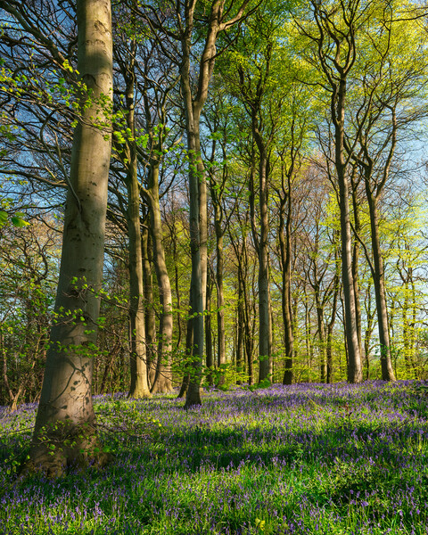 Bluebells and Sunshine Canvas Print by Darren Ball