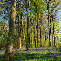 Buy canvas prints of Bluebells and Sunshine by Darren Ball