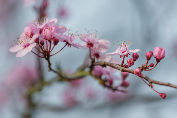 cherry blossom Canvas Print by kevin murch