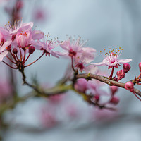 Buy canvas prints of cherry blossom by kevin murch