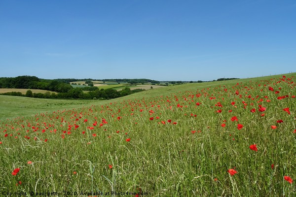 Chiltern Poppies Canvas Print by paul petty