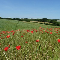 Buy canvas prints of                                Chiltern Poppies by paul petty