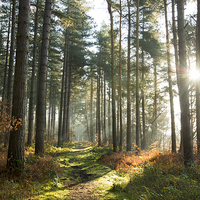 Buy canvas prints of Sherwood Forest by Tracey Whitefoot