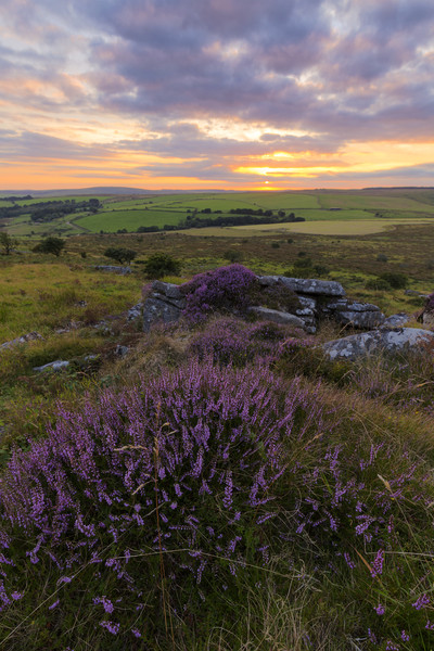 Heather on Bodmin Moor Canvas print by Christopher Barnard