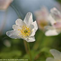 Buy canvas prints of Spring Woodland Fairy by Liz Shewan