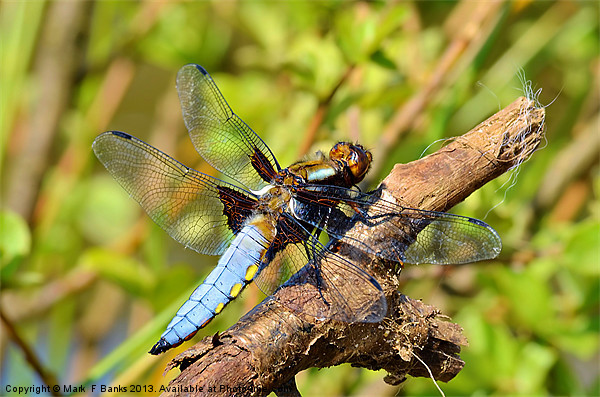 Broad-bodied Chaser [ male ] Canvas print by Mark  F Banks