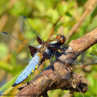 Buy canvas prints of Broad-bodied Chaser [ male ] by Mark  F Banks