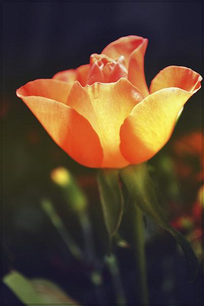 Rose.. Canvas print by Nadeesha Jayamanne
