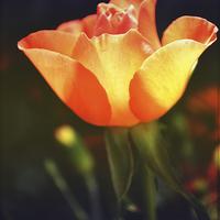 Buy canvas prints of Rose.. by Nadeesha Jayamanne