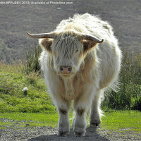Buy canvas prints of highland cow face off 2 by austin APPLEBY