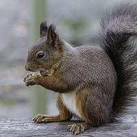 Buy canvas prints of Red Squirrel by Alex Millar