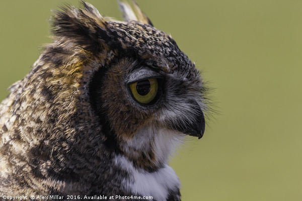European Eagle Owl Canvas print by Alex Millar