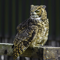 Buy canvas prints of Eagle Owl by Alex Millar
