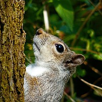Buy canvas prints of Grey Squirrel by Jane Metters