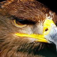 Buy canvas prints of          Steppe Eagle                       by Jane Metters