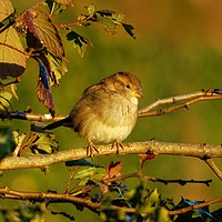 Buy canvas prints of         House Sparrow                          by Jane Metters