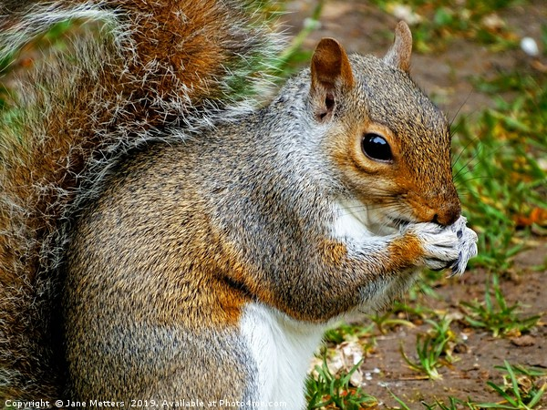 A Squirrel Close Up             Canvas Print by Jane Metters