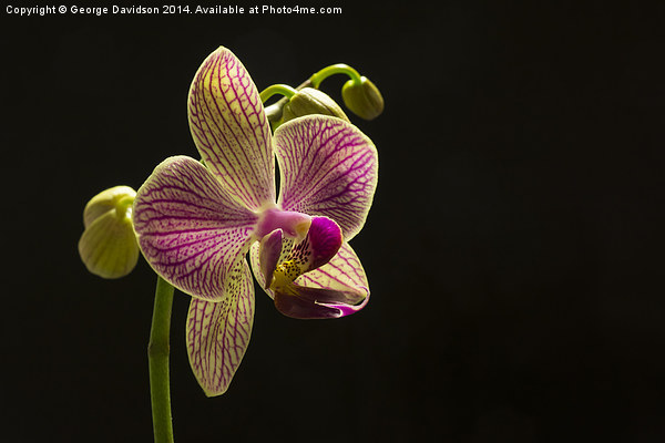 Orchid Canvas Print by George Davidson