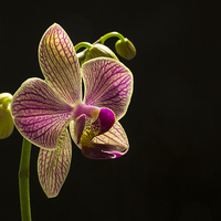 Buy canvas prints of Orchid by George Davidson