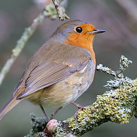 Buy canvas prints of Robin by